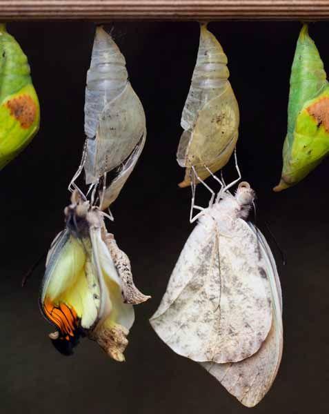 Life Cycle of Butterflies. Life Cycle of Butterflies. Metamorphosis- egg, larva (caterpillar), pupa (chrysalis), adult. Free Worksheet.