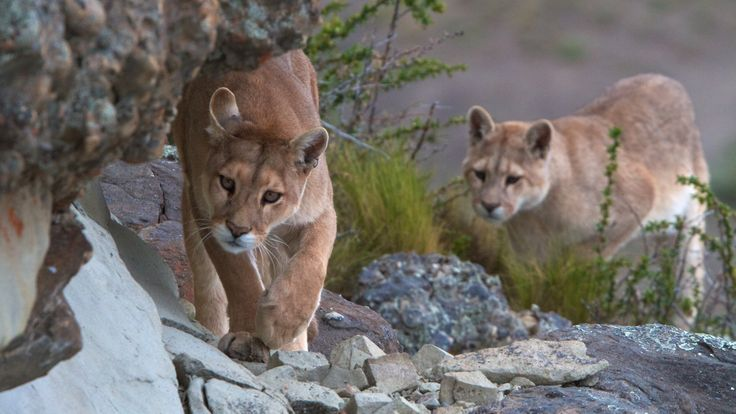 Pumas in Torres del Paine are just one of the many wildlife surprises at Torres del Paine National Park..