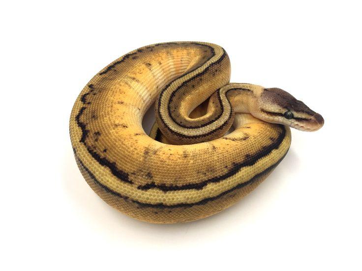 Python regius Pastel genetic stripe