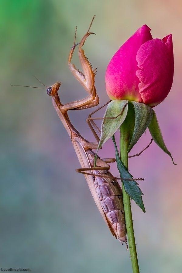 Praying Mantis on Rose flower red nature rose bug insect praying mantis