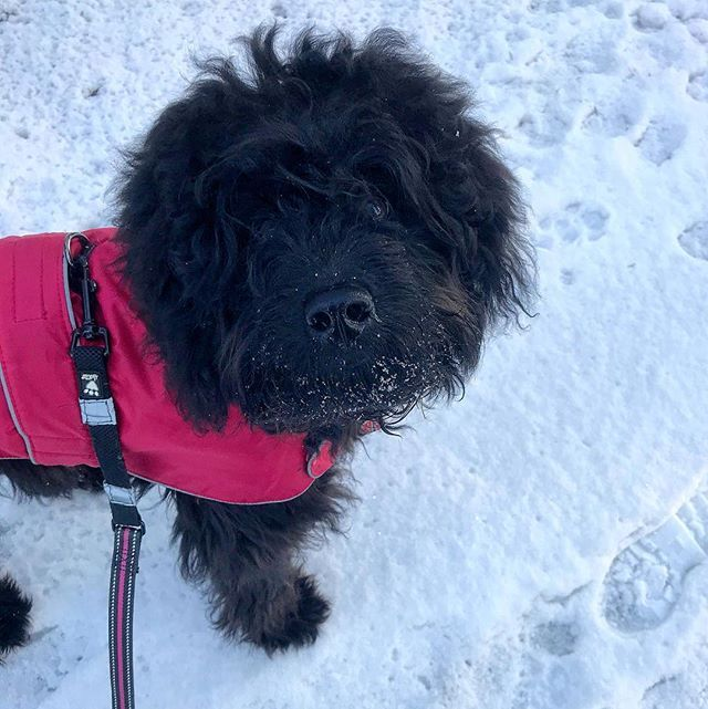 Ok Im a bit biased but she is the cutest ever right!  #labradoodle #snow #cute #labradoodlesofinstagram