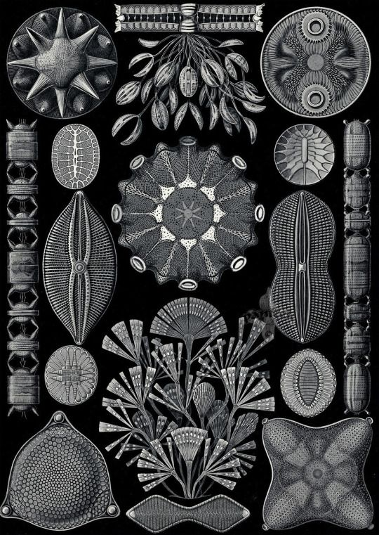 Ernst Haeckel.  Diatomea,   Kunstformen der Natur (Art Forms in Nature). 1899-1904.
