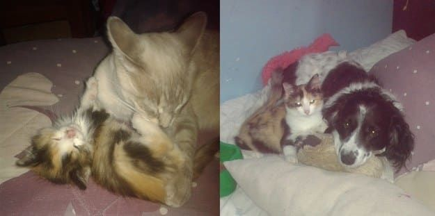 """""""La gatita de manchas es Ludvica, mi hermana la rescató cuando vio como una persona la dejaba a la calle el pasado mes de abril. Llegó con muy poco peso, un ojo infectado y el estómago inflamado. A los tres días nuestra gata Lia (de color gris) la adoptó como suya, la lavaba y cuidaba hasta que por desgracia murió al mes dejándonos con un hueco en el corazón. Ahora, casi a los 4 meses de estar con nosotros, tiene un peso normal y se hizo amiga de nuestros perros Logan y Chisguete. Este…"""
