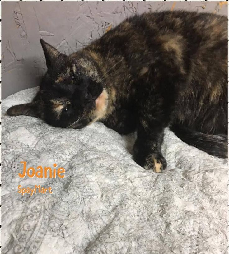 ADOPT ME!! (Picayune, MS) Meet another beauty at the Spaymart Sanctuary in Picayune, MS. This sweetie is named Joanie and she would love to meet you! Interested? Email info@spaymart.org #adoptme #cat #Cats #Spaymart #CatRescue #AdoptDontShop
