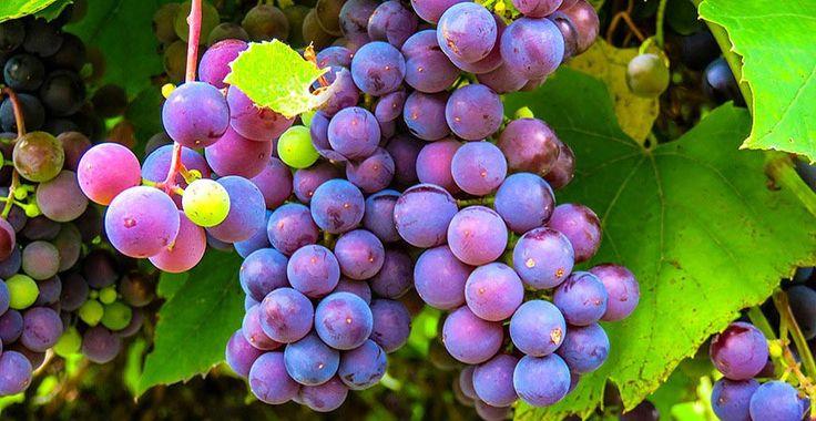 El aceite de semilla de uva tiene propiedades muy valiosas para la piel, es un gran desintoxicador, rejuvenecedor, antiinflamatorio y antibacteriano