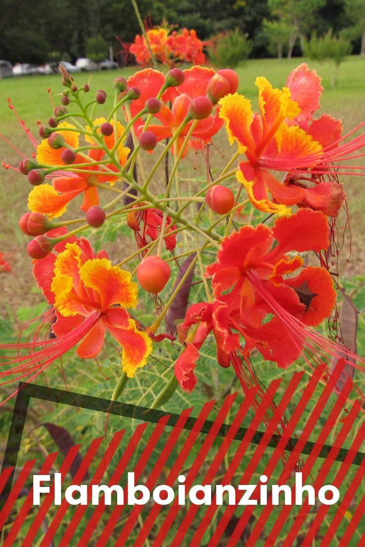 Flamboianzinho Caesalpinia Pulcherrima Flores Bonitas Flores