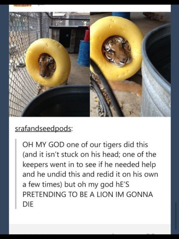 This tiger with big dreams. | 23 Of The Cutest Things That Have Ever Happened On Tumblr