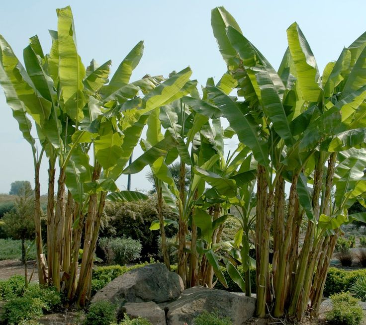 Hardy Fiber Banana can survive in Zones 5-11, and considered the most cold hardy banana! Its lush green foliage provides outstanding tropical effect yet its roots survive much colder temperatures than other bananas. A fast grower, with huge leaves that may reach 2 feet wide and 6 feet long. Produces attractive golden cream flowers and small, somewhat seedy fruit.