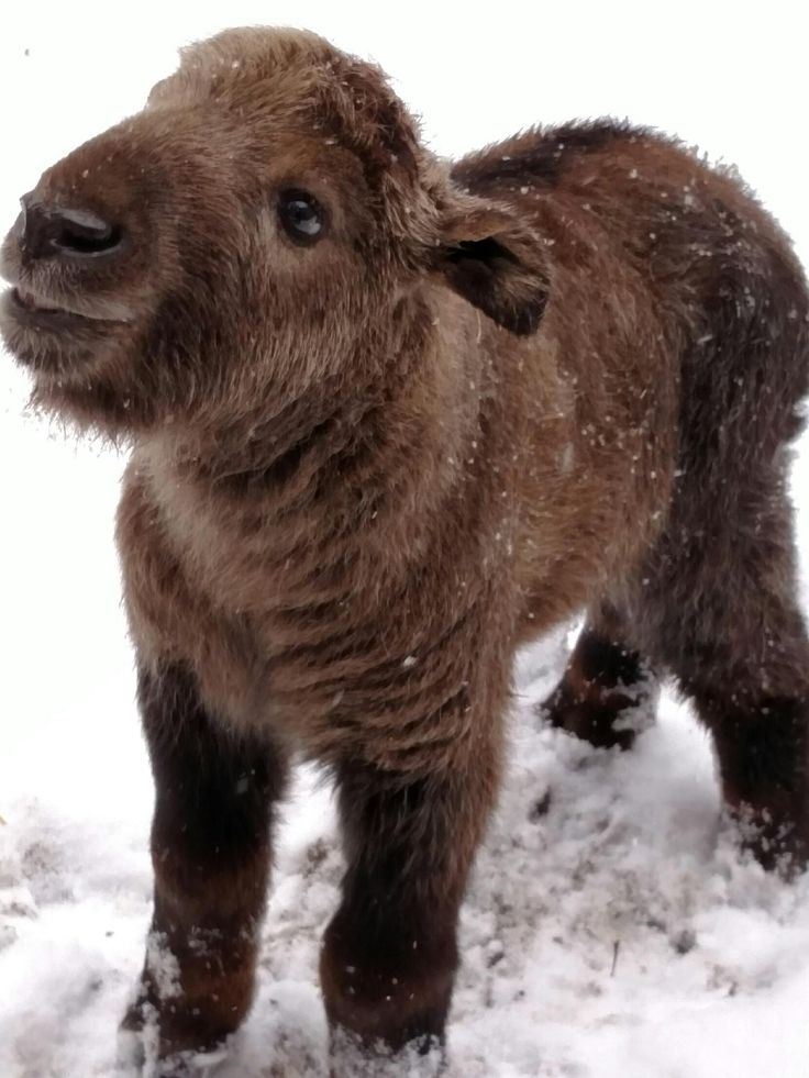 Endangered ~ These animals live in Tibet and China and grow up to 1.4 meters tall. The Takin is Bhutan's national animal and is likely to have inspired the golden fleece from Greek mythology's Jason & the Argonauts. Sichuan Takin