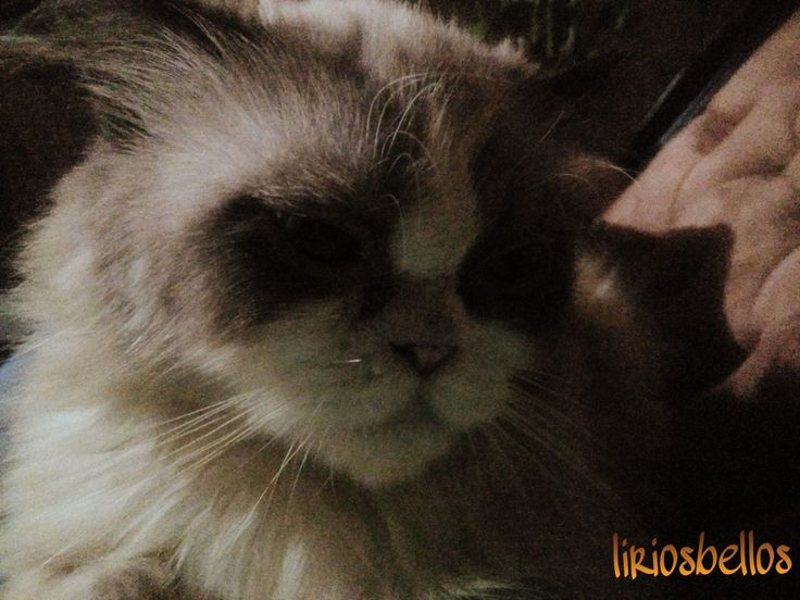 #Cat #photography  #Sherlockthecat #sweet #love #purelife  #fromCosraRica