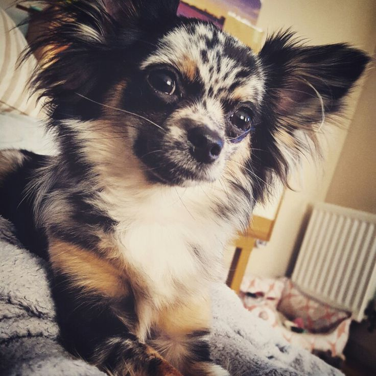 Luna black merle long-haired Chihuahua 8.5 months old blue merle