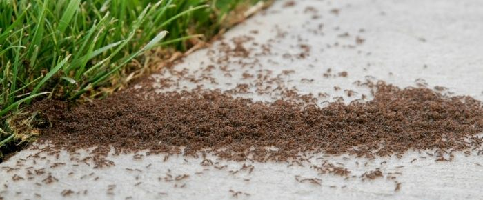 Learn what to do if you are overrun by common ants such as Argentine ants, odorous house ants and pavement ants.