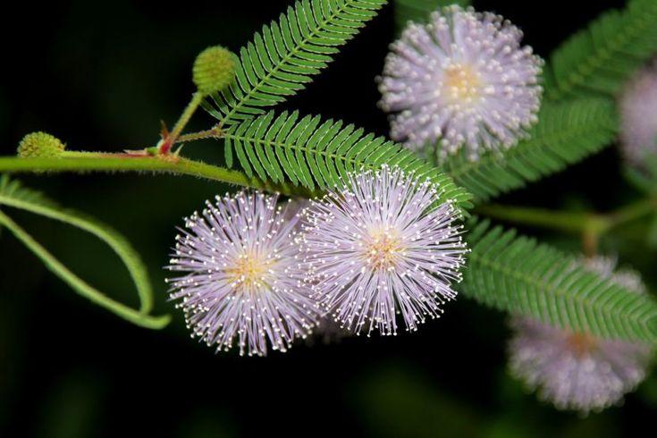 Mimosa Pudica, la planta de la vergüenza - http://www.jardineriaon.com/una-planta-timida-la-mimosa-pudica.html
