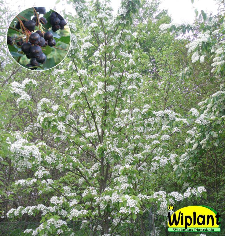 Amelanchier, Häggmispel/Saskatoon.  Vita blommor. Ätliga bär, fin höstfärg. Höjd: 3-5 m.