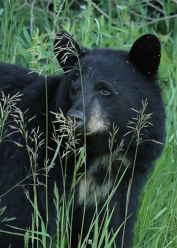 "The reason for Jamie's Indian Name of Bear Killer - scene was also the aegis of ""fishwhacks"" >}}}}}}}}}}}}> for chastising someone for story line spoiling back in the day of the original publication of Drums of Autumn.  Black Bear...#32 by Blackcat Photography on Flickr*"