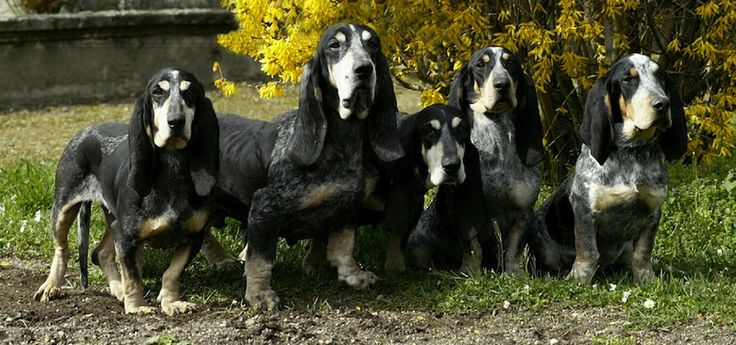 basset bleu de gascogne | basset bleu de gascogne also known as the bleu gascony basset is a ...