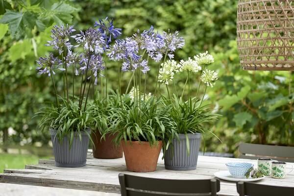 Als Terrassenpflanze Des Jahres Ist Die Schmucklilie Auch Perfekt, Um In  Kleinen Töpfen Mit Artgenossen