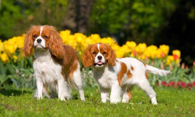 Кавалер кинг чарльз спаниель (фото): истинный джентльмен в мире собак