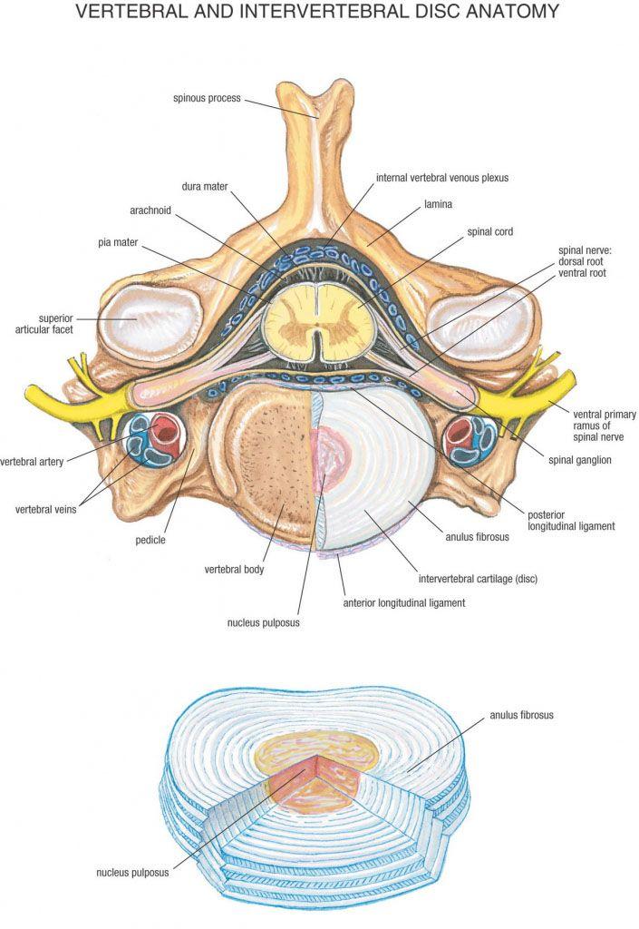 Vertebral and intervertebral disc anatomy - www.anatomynote.com ...