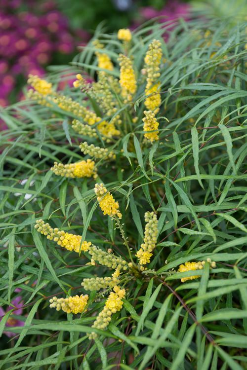 Buy Soft Caress Mahonia For Sale Online From Wilson Bros Gardens