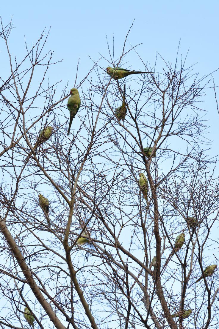 2017年3月29日 つきみ野3丁目のつきみ野4号公園で緑色のインコが群れる木に遭遇しました。調べてみると「ワカケホンセイインコ」という鳥で