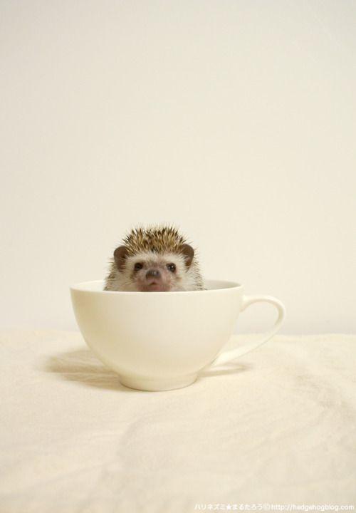 Hedgehog Calendar, Teacup Hedgehog. ([今日の一枚]ティーカップハリネズミ by...