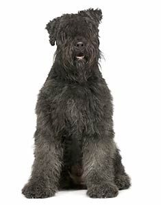 Bouvier Dog- LOVE this breed! They do not shed, are very well behaved (but are protective too), and are BIG! I want one very badly!:)