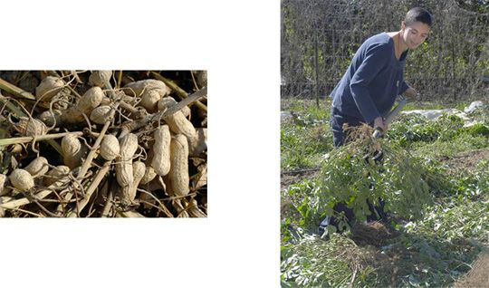 How to plant, harvest, and use peanuts! I am definitely going to try this!