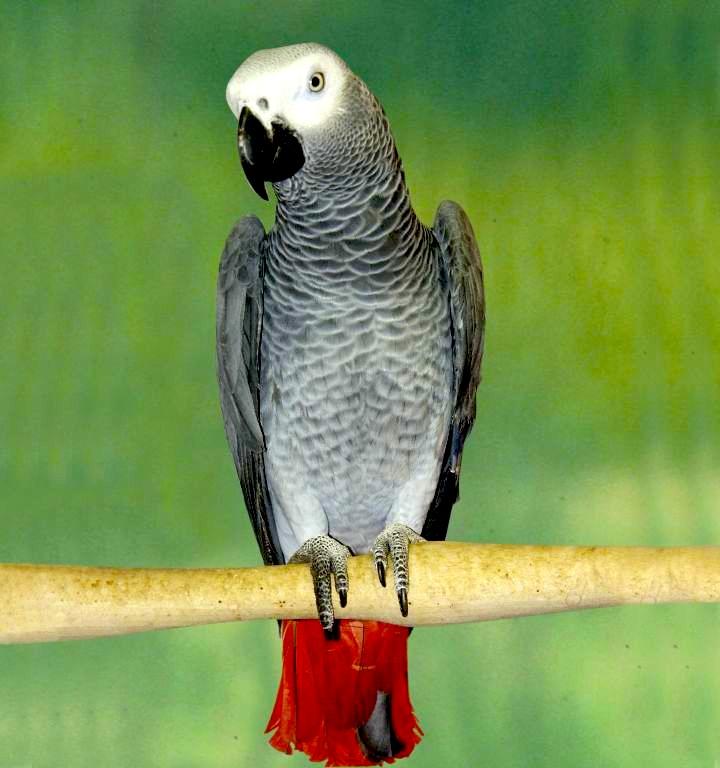 Gris du Gabon, cacatoès, amazones, jardines, youyous... Beaux parleurs, belles plumes et joyeux drilles : les perroquets sont des animaux de compagnie à part entière. Très attachés à leur maître, ils lui restent fidèles toute leur vie.