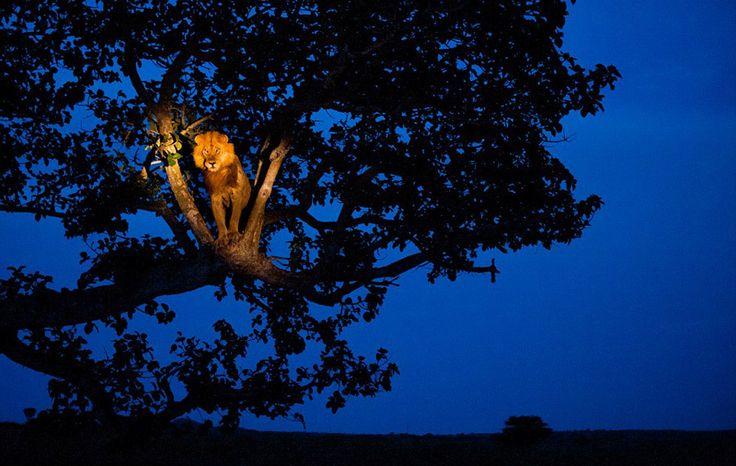 Lion in the spotlight by Joel Sartore