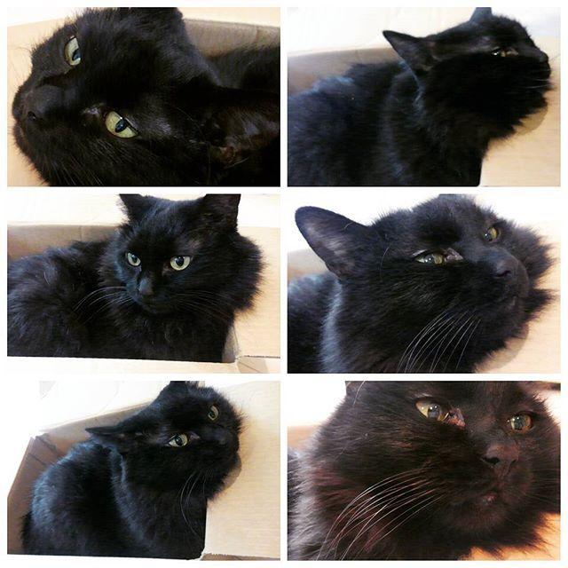 箱入り娘ジジ😺  とりあえず箱見たら入るジジ🐾 (ちなみにババちゃんはデカイのでこの箱に入れない😹) 箱に入ると私が喜ぶ事を知っている😸👌 #猫#ねこ#cat#gato #catstagram#catlover #箱入り娘#段ボール#ダンボール #にゃんすたぐらむ#ねこすたぐらむ #黒猫#黒猫同盟#黒猫部#愛猫 #BRACKCAT#黒猫クラブ #猫部#ねこ部#ねこら部#くろねこ部#元野良猫 #半長毛#japanesecat#多頭飼い #黒猫ネットワーク#黒猫もふ団 #保護猫#リジェ猫 ★ペットショップで買わないで★ これから猫や犬を飼う方は、命をお金で買わずに、 里親さんになるという選択肢も入れてくださると、 日々殺処分され続けてる保健所の犬猫達や、 ペットショップの裏側で過酷な環境を強いられ続け最期は殺処分という不遇な繁殖犬や繁殖猫が、救われます😺🐶 ペットショップで買う人が居なくなれば、売れ残ったまま大きくなって殺処分されてしまう犬猫も救われます😺🐶