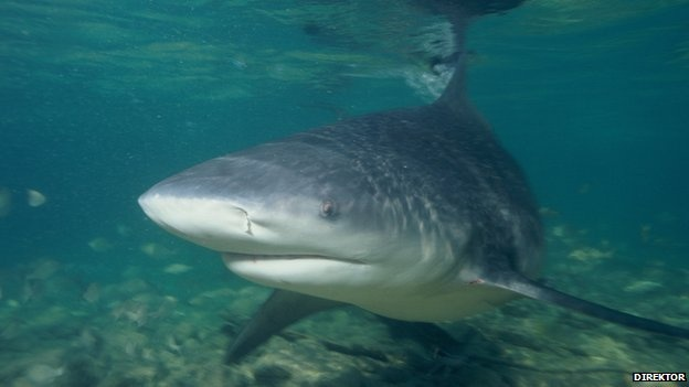 Bull sharks have the strongest bite of any shark species, scientists have discovered.    Relative to their body size, bull sharks bite harder than other, larger predatory sharks.    Adult bull sharks can bite with a maximum force equivalent to 6,000N, a study of their jaws and jaw muscles has shown.    It is unclear why bull sharks have such strong bites, which are much greater than required to kill and eat prey.    Details of the discovery are published in the journal Zoology.