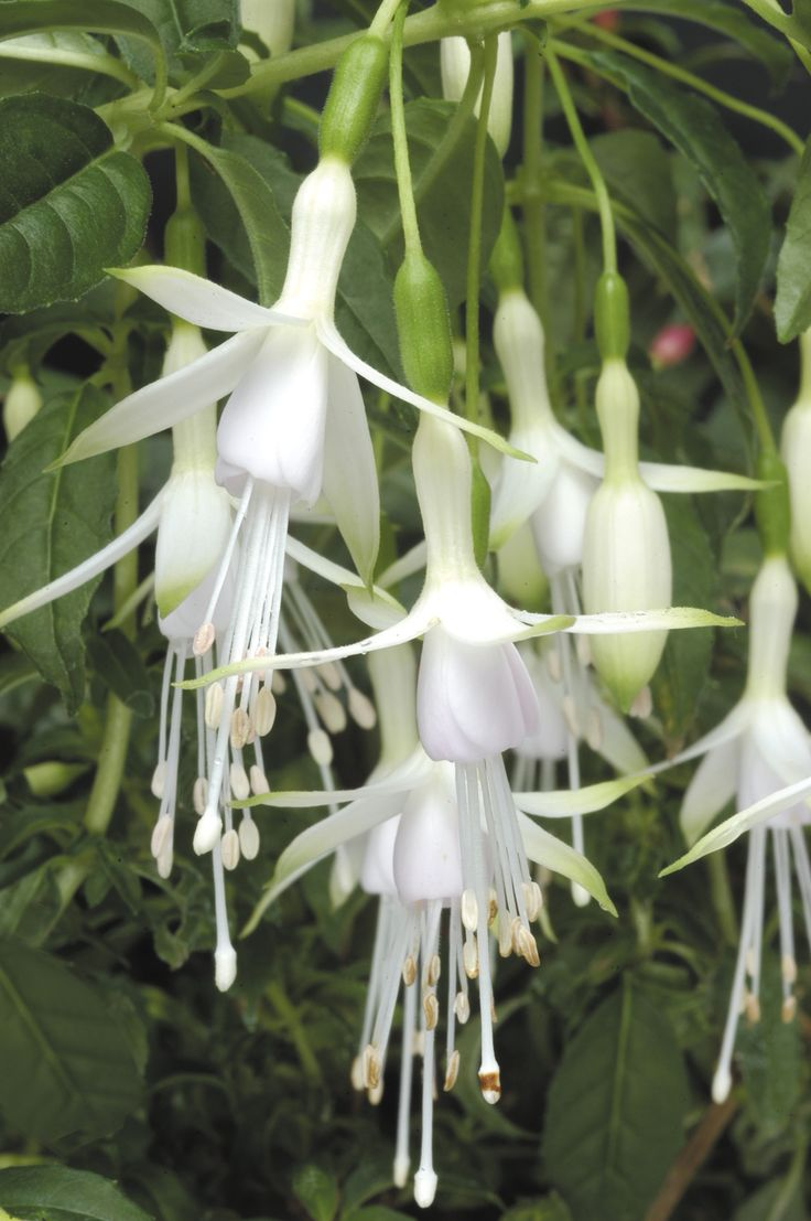 "Hawkshead (Hardy Bush) Fuchsia - This beautiful hardy fuchsia boasts dark green leafy stems, hung with dainty white flowers that are suffused with a trace of green at the tip. Upright and bushy, Fuchsia 'Hawkshead' blooms non-stop from early summer to autumn, growing in stature with the passing years. A lovely addition to borders and patio containers. Height and spread: 90cm (36"")"