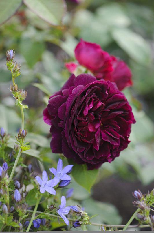 'Munstead Wood' English Rose with campanula. Photo: Howard Rice