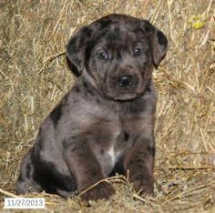boxadors puppies - Google Search