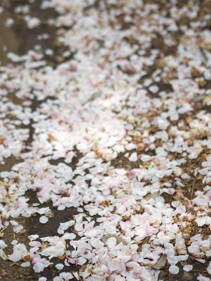 Cherry blossom pedals in Tokyo   Shinjuku Gyoen, Japan, sakura   Photo: Jenni Rotonen / Pupulandia