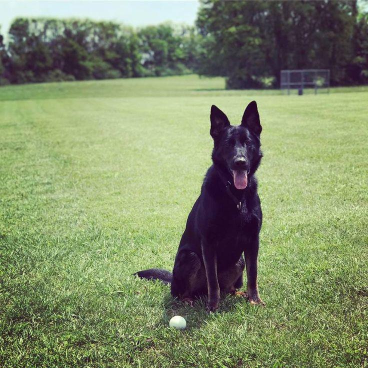 Lost dog please help black gsd female symrna tn