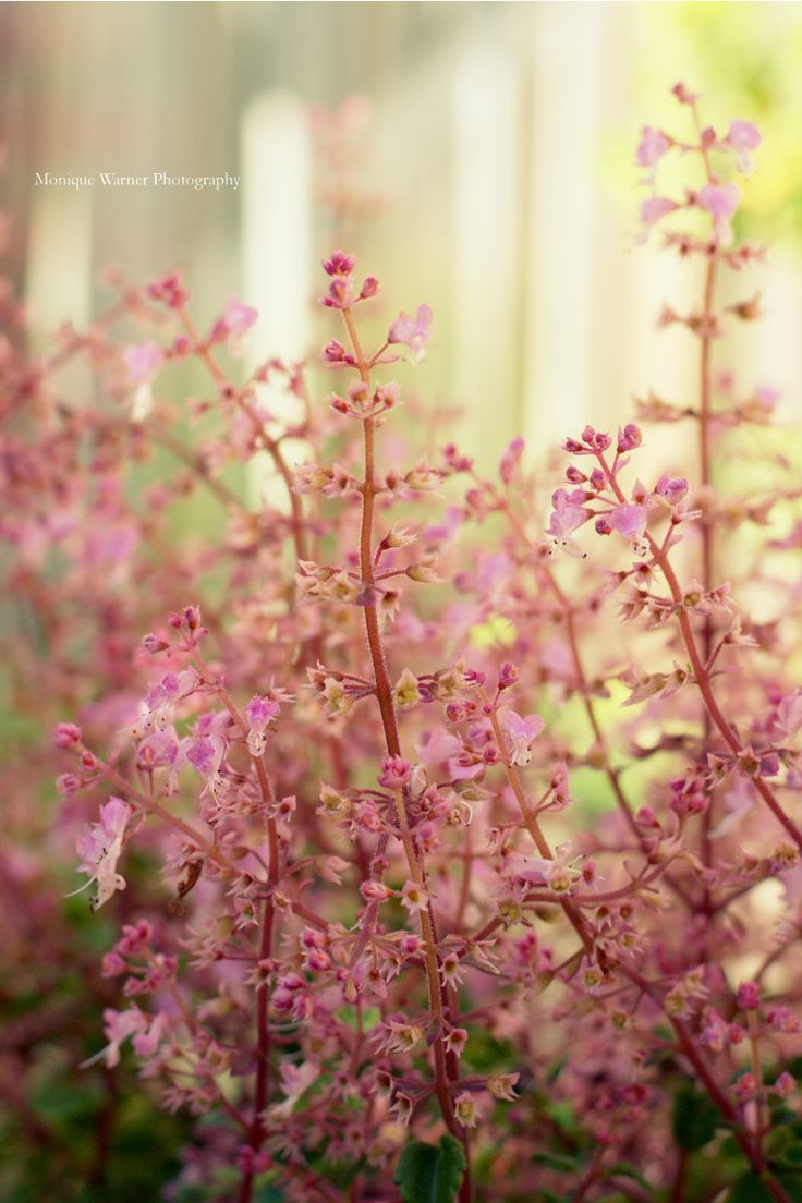Cheer up a winter garden with the pink flowering Plectranthus Chimenii shrub