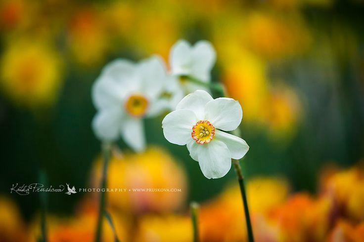 Beautiful white daffodil, Holland Katka Pruskova Photography   www.pruskova.com