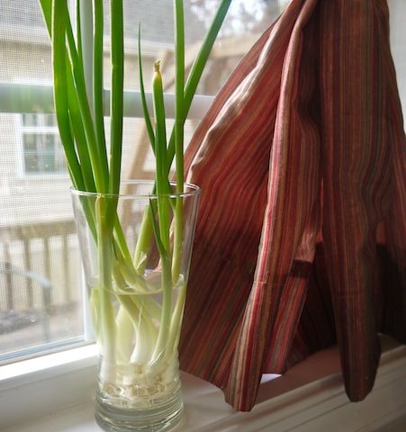 how to start green onion seeds indoors