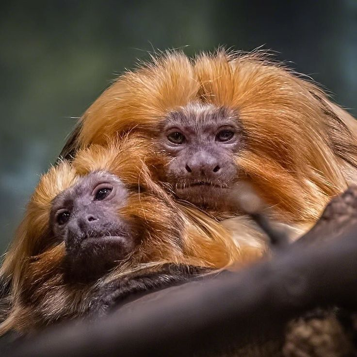 The Golden Lion Tamarins at the Buffalo Zoo are often seen in a loving embrace.  . The golden lion tamarin (Leontopithecus rosalia) also known as the golden marmoset is a small new world monkey. Native to the Atlantic coastal forests of Brazil the golden lion tamarin is an endangered species and among the rarest animals in the world with only around 800 left in the wild. Habitat destruction and climate change are causing their demise.  . . . #wildlife #nature #buffalozoo #wildlifelover…