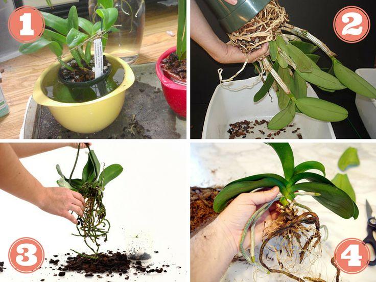 Rempotage d'orchidée