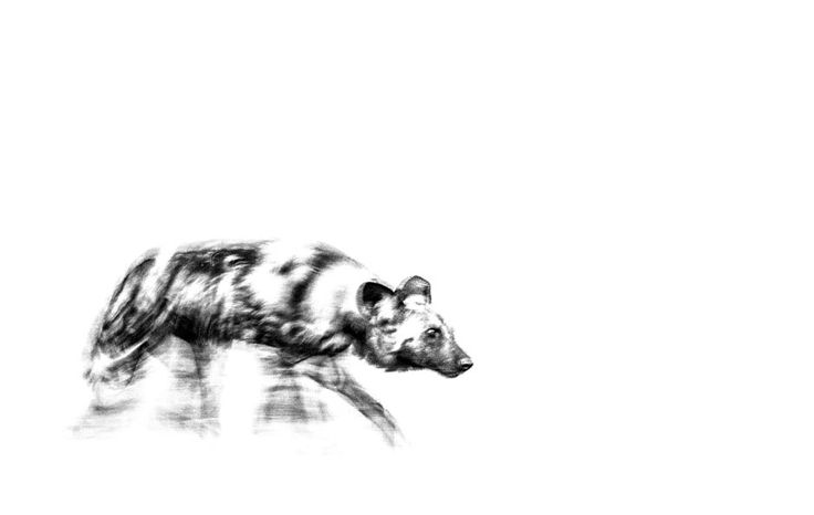 African wild dog also known as a painted hunting dog on the move in a BW print