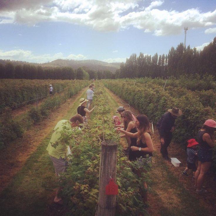 Raspberry picking in Westerway!!