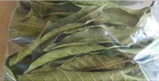 O uso medicinal desta folha tem sido cada vez mais reconhecido.E isso não é por acaso.Quem usa vira fã e dissemina para outras pessoas o potencial dela.