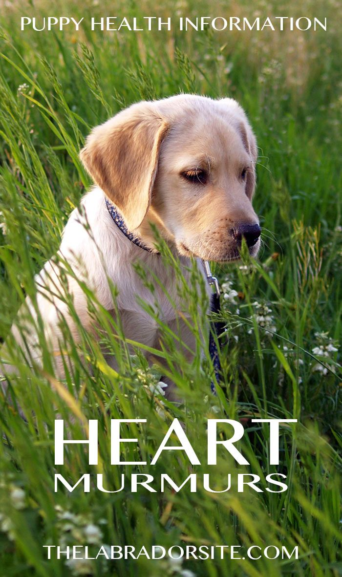 Find out about puppy heart murmurs, information and reassurance