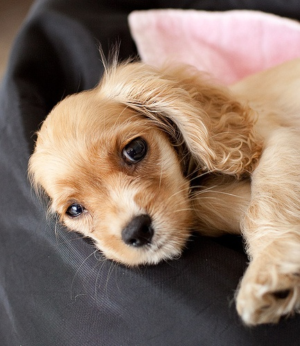 American Cocker Spaniel Puppy Pictures