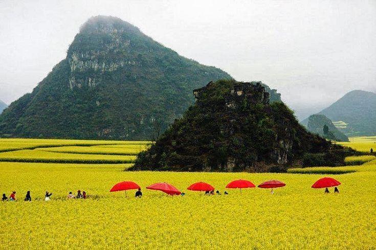 Kanola Alanları, Luoping, Çin
