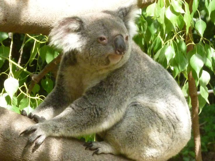 The Koala Bears - native to Australia - are amazing La zoo coupons http://www.pinterest.com/TakeCouponss/la-zoo-coupons/