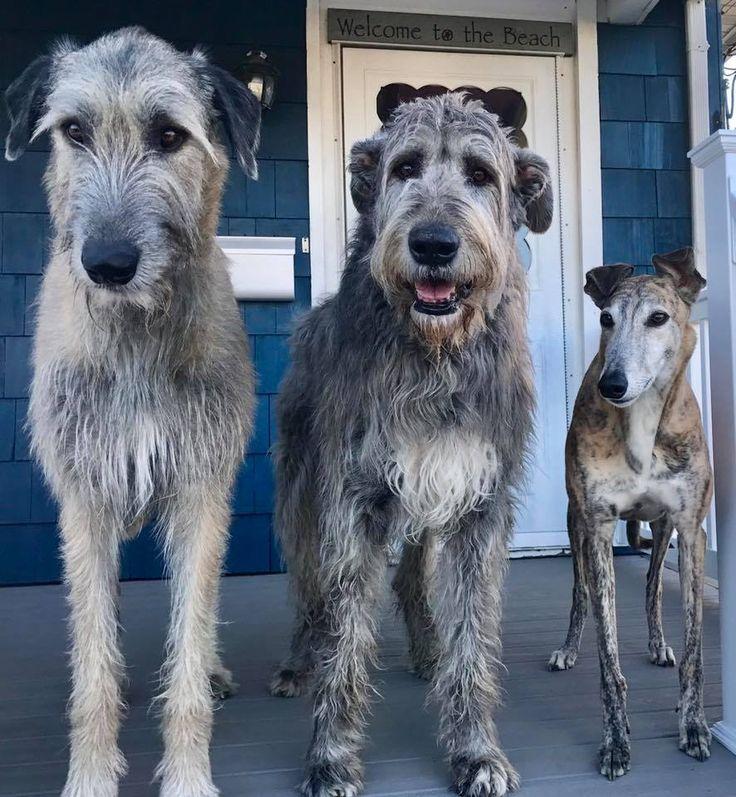 Irish Wolfhounds and Greyhound friend
